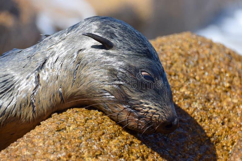 Zeeleeuw die op rots liggen stock foto's