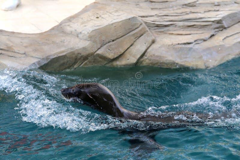 Zeeleeuw in dierentuin 1 royalty-vrije stock foto