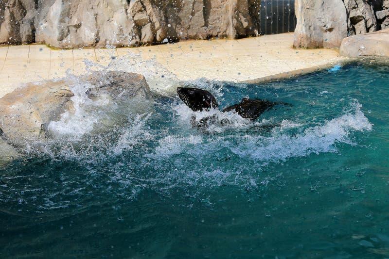 Zeeleeuw in dierentuin 3 stock foto