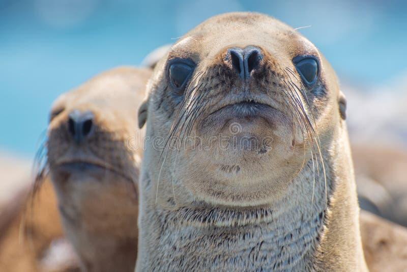 Zeeleeuw en de vriend die van Californië taai de kijken stock afbeeldingen