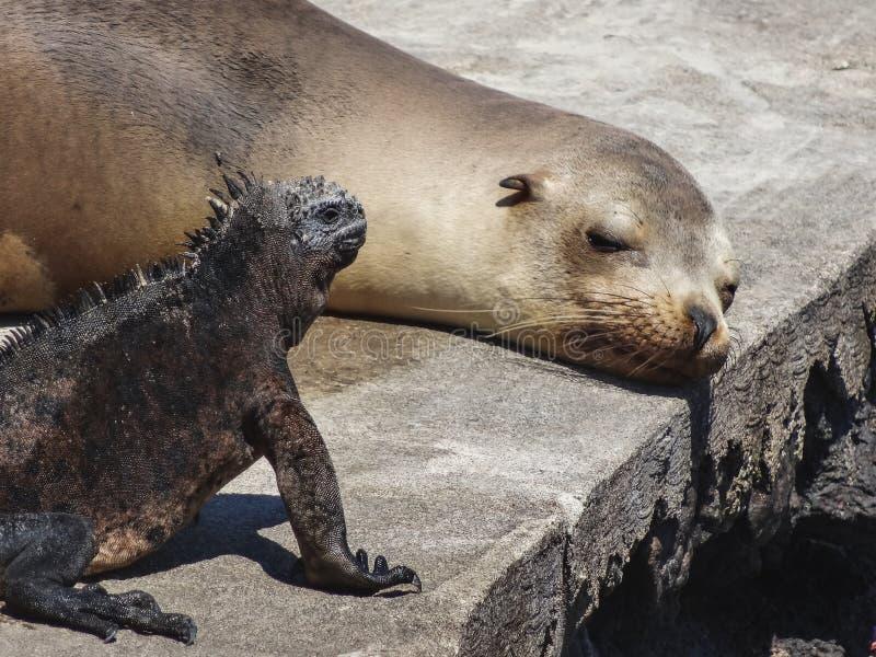 Zeeleeuw en het mariene leguaan hangen uit op het eiland van de Galapagos stock afbeelding