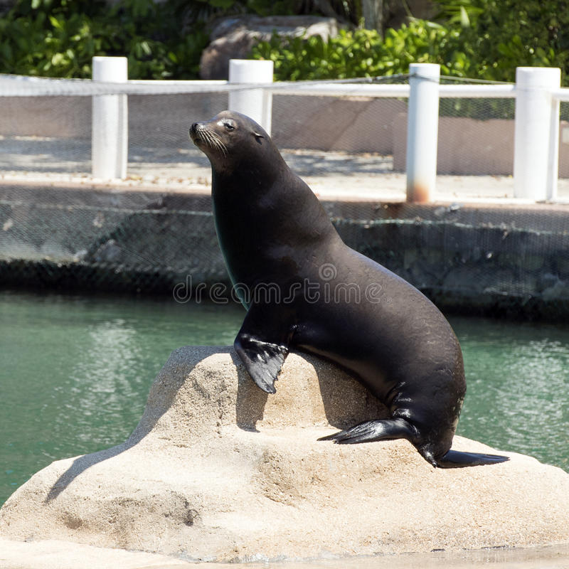 Zeeleeuw het stellen, Puerto Aventuras, Mexico stock afbeeldingen