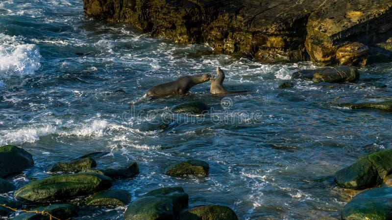 Zeeleeuw het vechten dichtbij de kust stock afbeeldingen