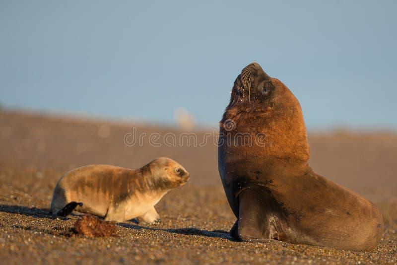 Download Zeeleeuw Op Het Strand In Patagonië Stock Afbeelding - Afbeelding bestaande uit kust, licht: 54078913