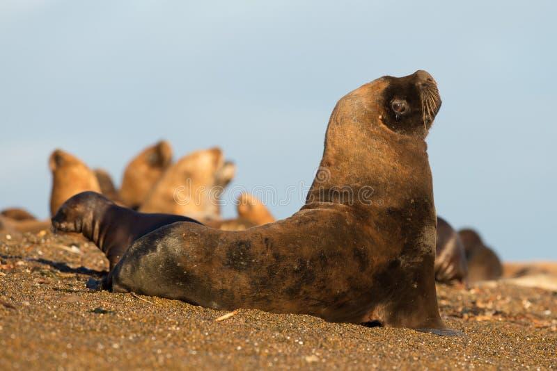 Download Zeeleeuw Op Het Strand In Patagonië Stock Foto - Afbeelding bestaande uit antarctisch, amerika: 54078924