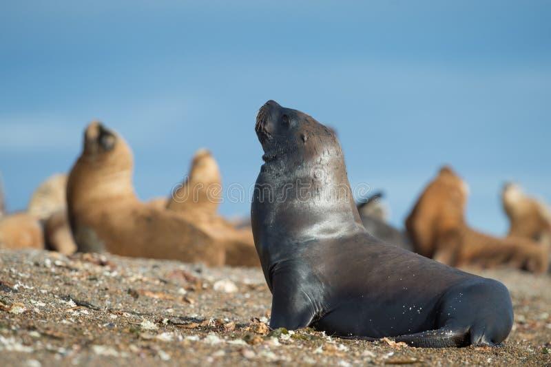 Download Zeeleeuw Op Het Strand In Patagonië Stock Afbeelding - Afbeelding bestaande uit atlantisch, antarctica: 54078953