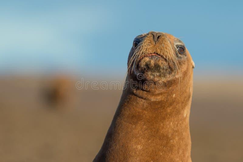 Download Zeeleeuw Op Het Strand In Patagonië Stock Afbeelding - Afbeelding bestaande uit mannetje, schiereiland: 54079073