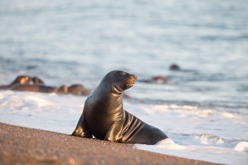 Download Zeeleeuw Op Het Strand In Patagonië Stock Afbeelding - Afbeelding bestaande uit licht, antarctica: 54079231
