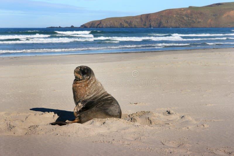 Zeeleeuw op het strand van Nieuw Zeeland, Schiereiland Otago stock afbeeldingen