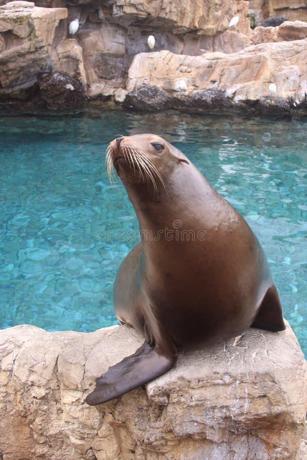 Zeeleeuw op Rots stock afbeeldingen