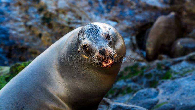 Zeeleeuw stellen, die u gaat niet in zijn grondgebied ervoor zorgen stock afbeelding
