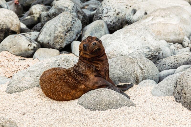 Zeeleeuwbaby op de stranden van de Galapagos royalty-vrije stock afbeelding