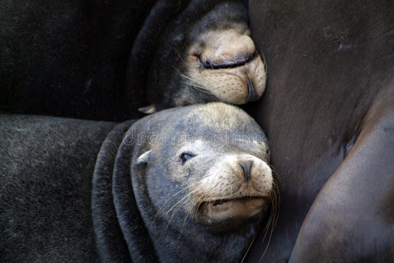 Zeeleeuwen stock afbeelding