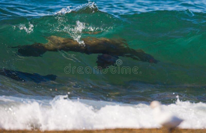 Zeeleeuwen in de Oceaan argentinië Schiereiland Valdes royalty-vrije stock afbeelding