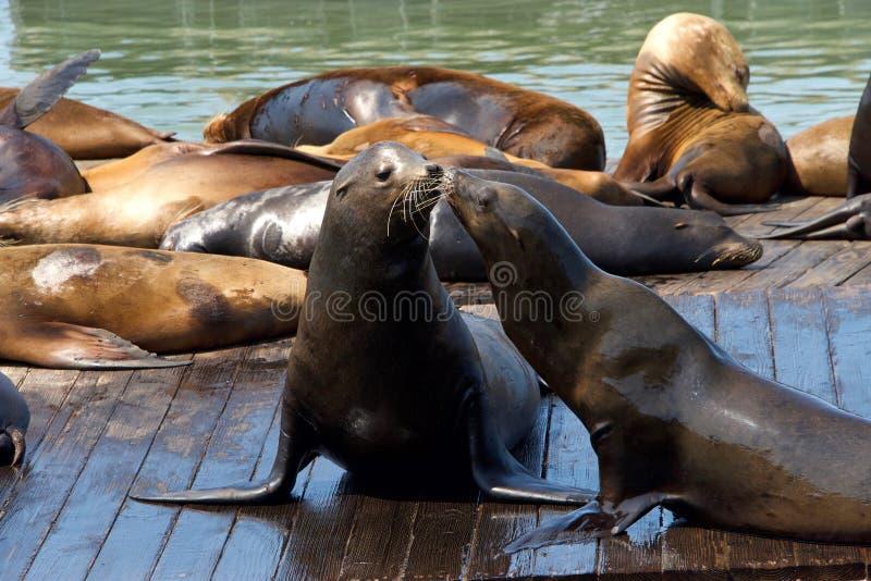 Zeeleeuwen die op houten drijvende platforms socialiseren stock foto's