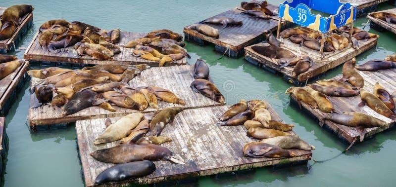 Zeeleeuwen die op houten platforms bij Pijler 39, één rusten van de oriëntatiepunten van San Francisco stock foto