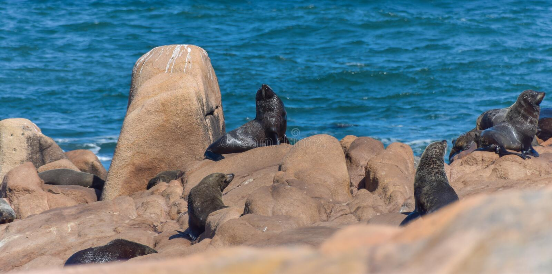 Zeeleeuwen die op rotsen liggen royalty-vrije stock foto's