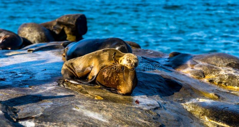 Zeeleeuwen die op zijn moeder, dichtbij het Strand van La Jolla rusten royalty-vrije stock afbeeldingen