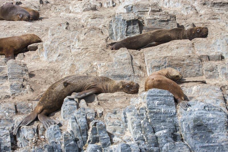 Zeeleeuwen die in Patagoing, Argentinië rusten royalty-vrije stock foto