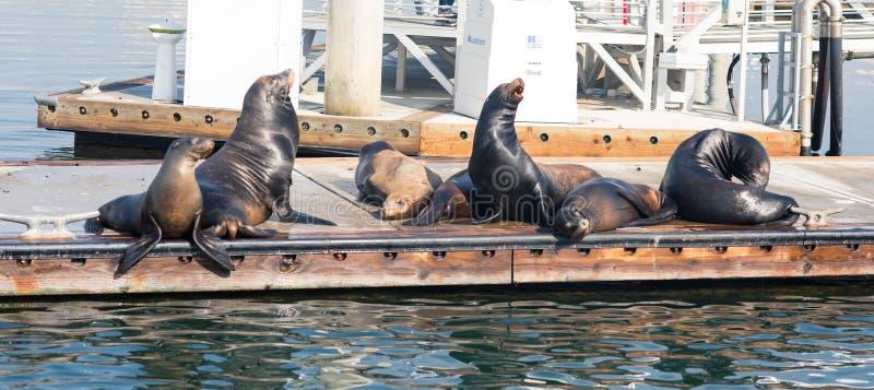 Zeeleeuwen en verbindingen die op een pijler bij Visser Village, Marina del Rey, Californië rusten royalty-vrije stock foto