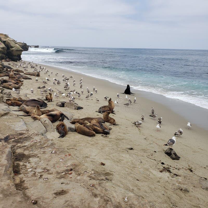 Zeeleeuwen en zeemeeuwen op rotsachtige strandgolven royalty-vrije stock foto
