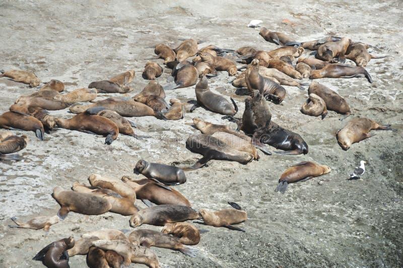 Zeeleeuwen in het Valdes-Schiereiland stock foto