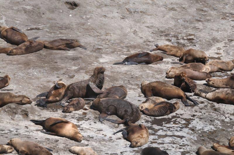 Zeeleeuwen in het Valdes-Schiereiland stock afbeeldingen