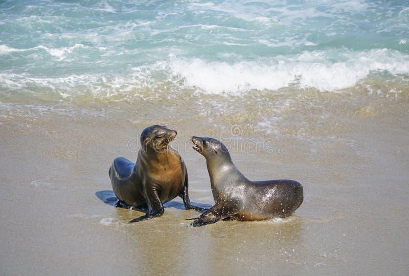 Zeeleeuwen op de kust stock foto