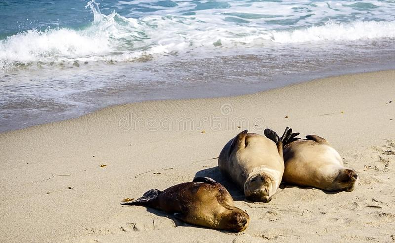 Zeeleeuwen op de kust royalty-vrije stock foto