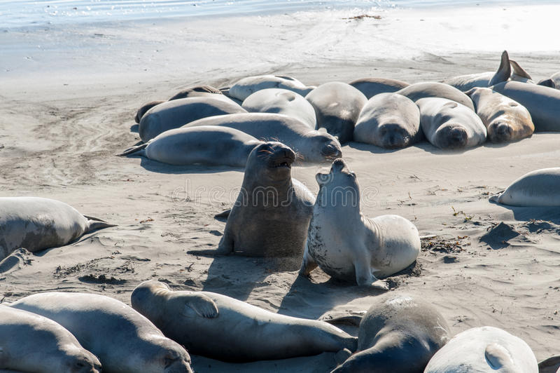 Zeeleeuwen op de Vreedzame Kustweg in Californië de V.S. stock afbeeldingen