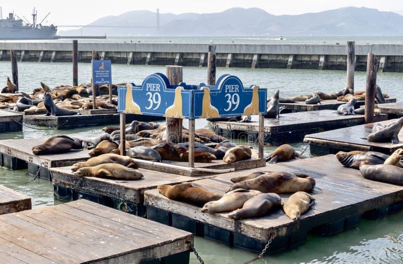 Zeeleeuwen op Pijler 39 stock foto
