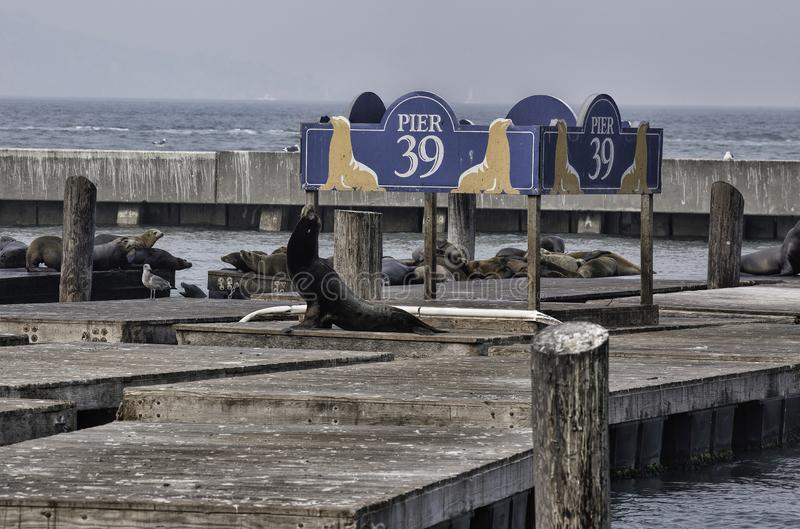 Zeeleeuwen op Pijler 39 in San Francisco royalty-vrije stock afbeelding