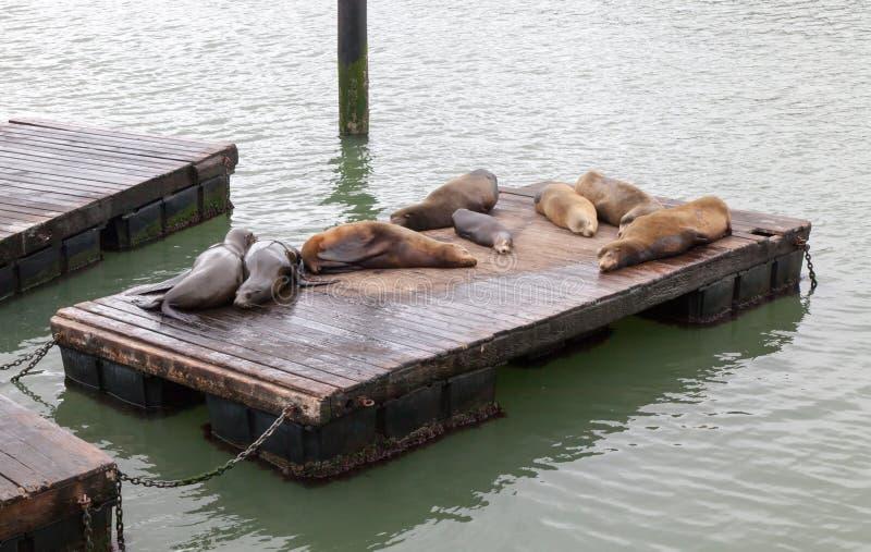 Zeeleeuwen op Pijler 39 in San Francisco stock afbeelding