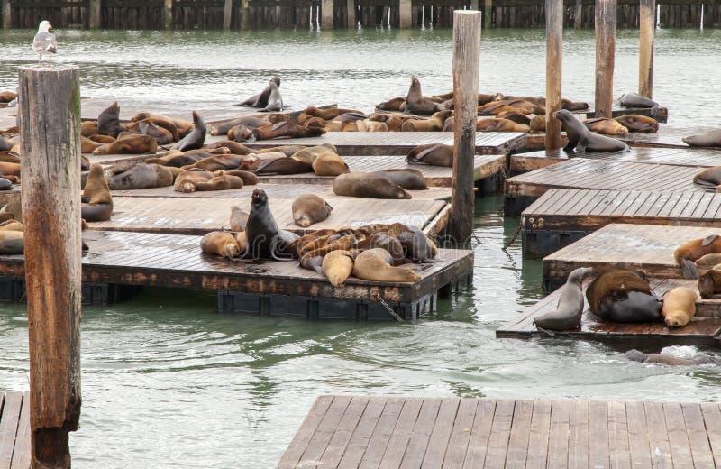 Zeeleeuwen op Pijler 39 in San Francisco stock afbeeldingen