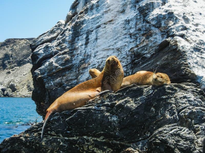 Zeeleeuwen op rotsachtige eiland perfecte plaats om heel wat vogels te zien stock foto