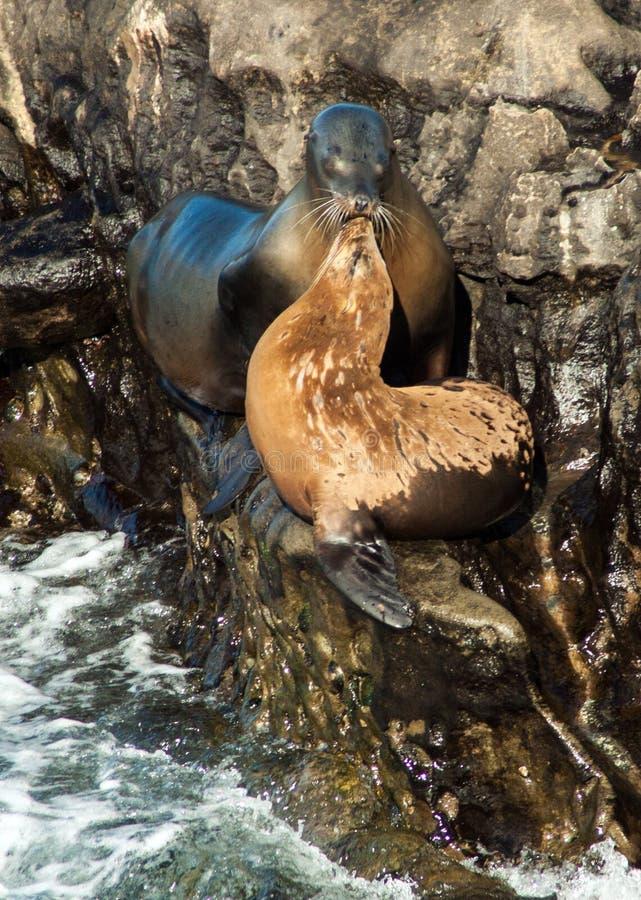 Zeeleeuwen op rotsen royalty-vrije stock foto