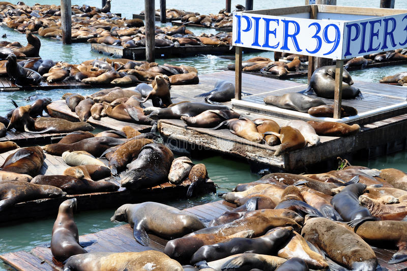 Zeeleeuwen, pijler 39 stock foto