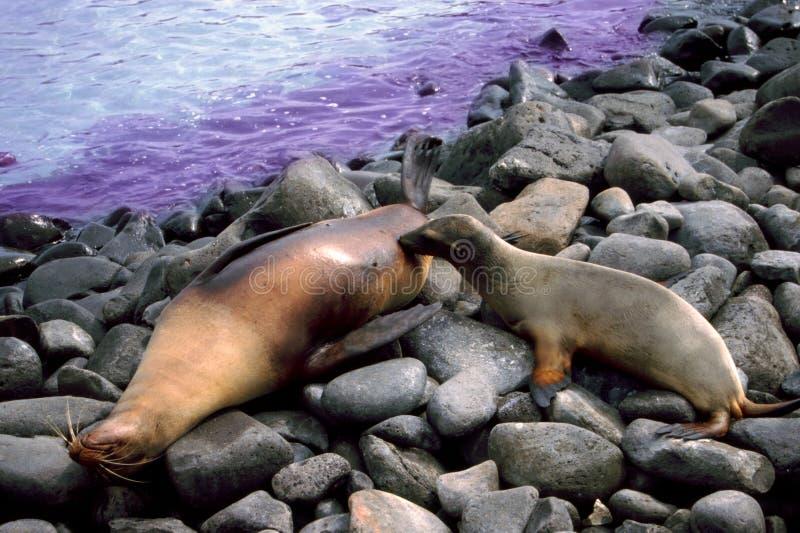 Zeeleeuwjong die de Eilanden van de Galapagos verzorgen stock foto