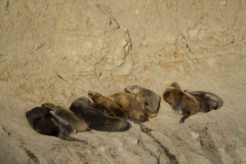 Zeeleeuwkolonie in Zuid-Amerika stock fotografie