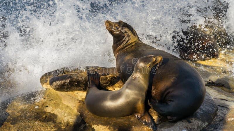 Zeeleeuwmoeder, met twee jongen, die op klippen rusten royalty-vrije stock fotografie