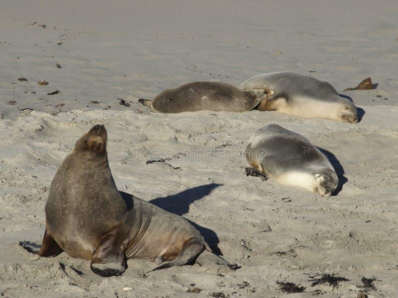 Zeeleeuwstrand en zon stock foto