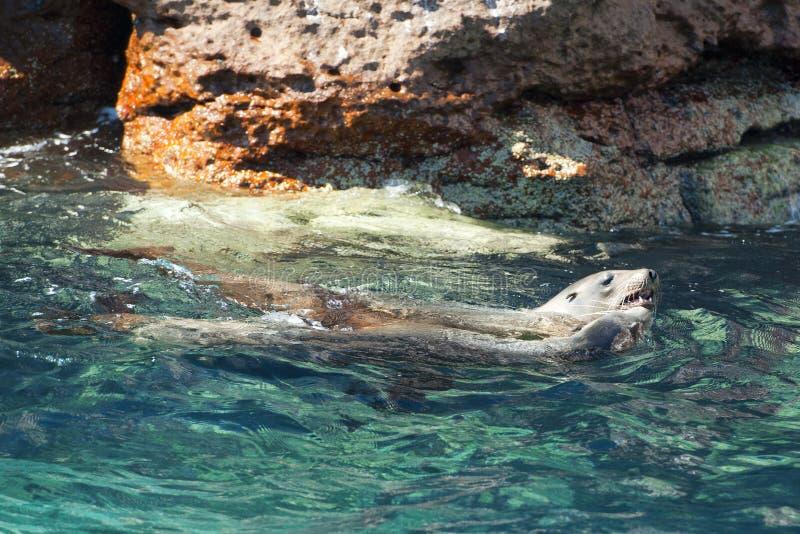 Zeeleeuwverbindingen die in baja Californië ontspannen stock fotografie
