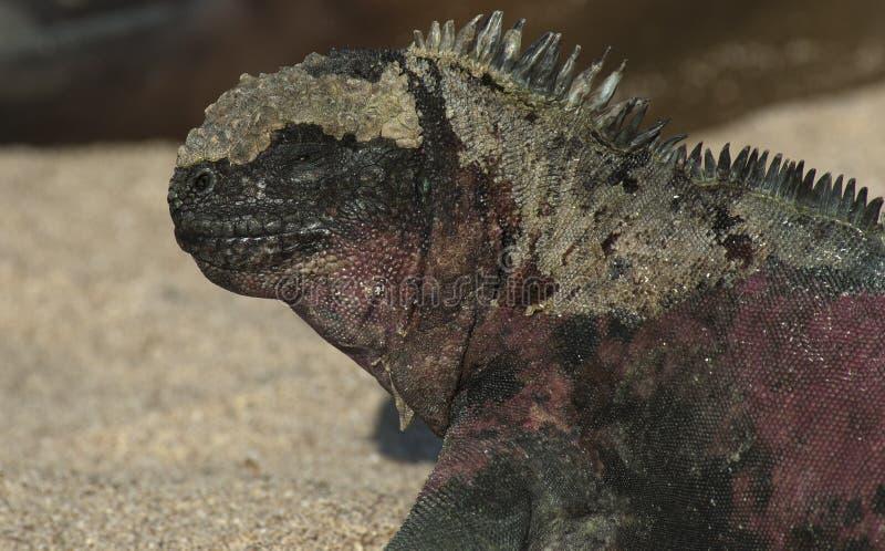 Zeeleguaan, Marine Iguana, Amblyrhynctus cristatus stock photography
