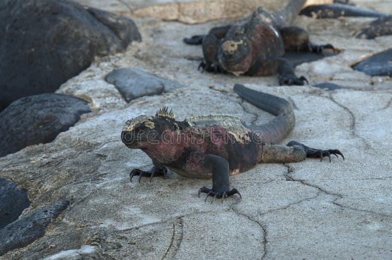Zeeleguaan, Marine Iguana, Amblyrhynctus cristatus stock image