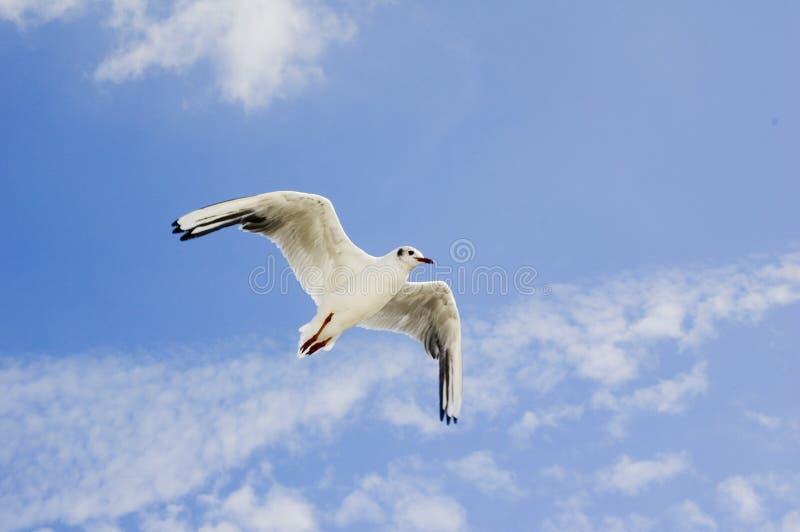 Download Zeemeeuw stock foto. Afbeelding bestaande uit vrijheid - 10780528