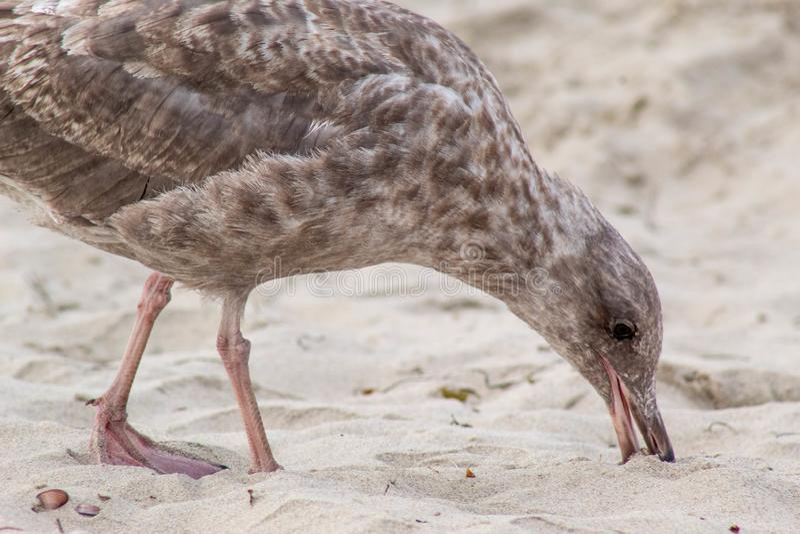 Zeemeeuw bij het strand die iets in zand eten royalty-vrije stock afbeelding