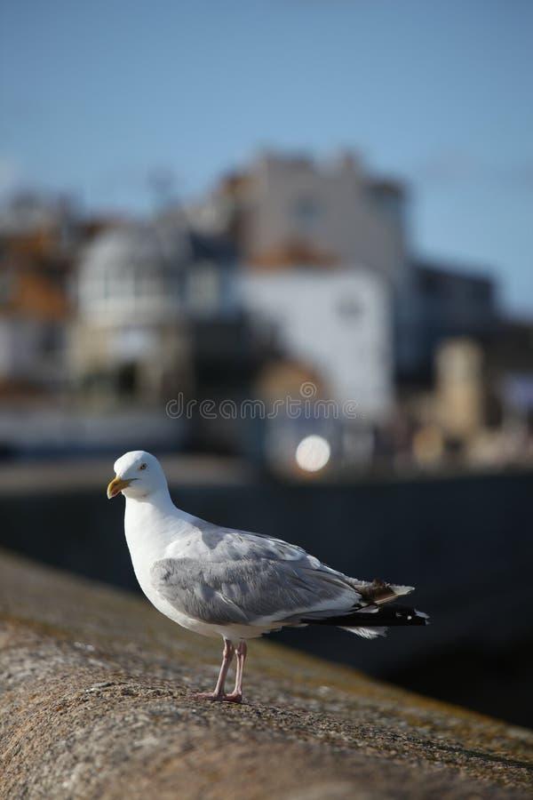 Zeemeeuw bij St Ives stock afbeeldingen