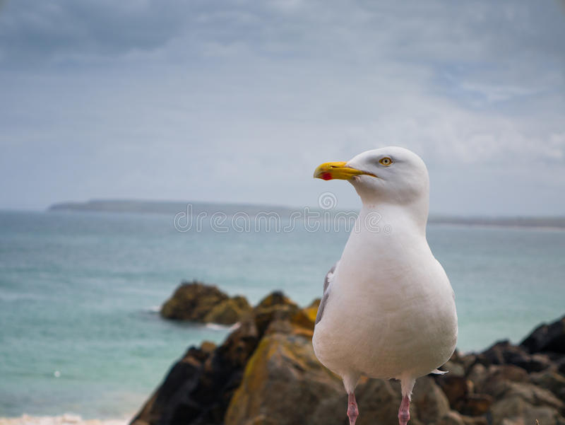 Zeemeeuw in Cornwall stock afbeelding
