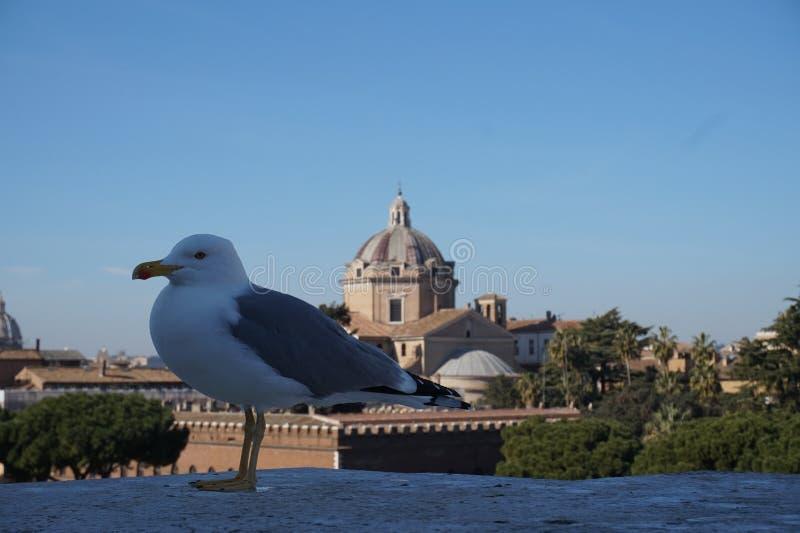 Zeemeeuw in de stad van Rome stock afbeeldingen