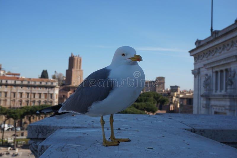 Zeemeeuw in de stad van Rome royalty-vrije stock afbeeldingen